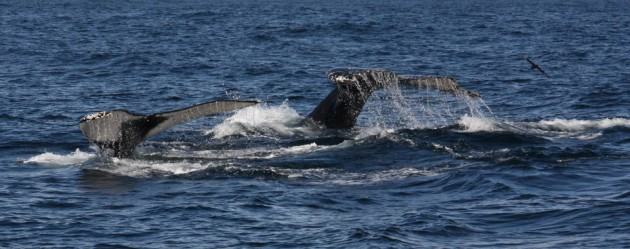 Double whale tail on the boat today