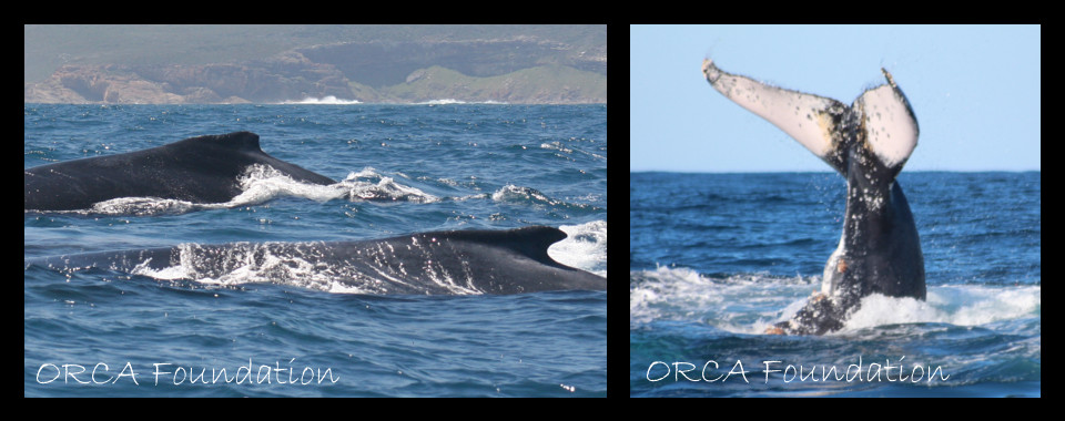 Humpback Whales – we're happy they're back in Plett!