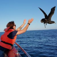 12.2 White-chinned Petrel being released