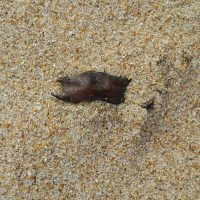 13.1 Puffadder shyshark egg case partially covered by sand