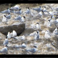 68-swift-tern-banner-960x353