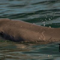 1-Humpback_dolphin_final-1