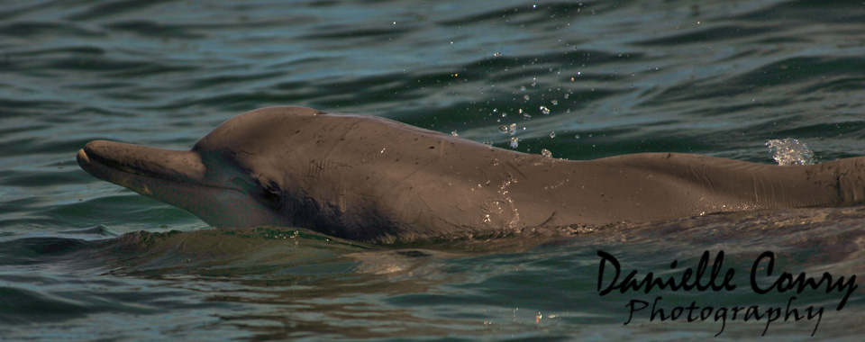 Humpback dolphins: South Africa's most endangered dolphin