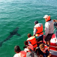 Great white shark sighting in the Robberg Marine Protected Area